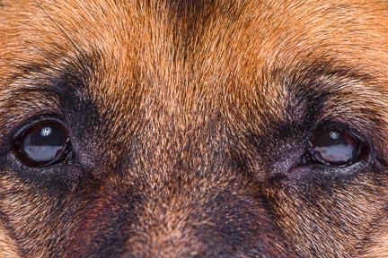 Macro photo of German Shepherd's eyes by Brad Sharp.