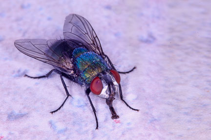 Macro photo of a fly with bluish coloration and red eyes sucking chicken blood from counter by Brad Sharp.