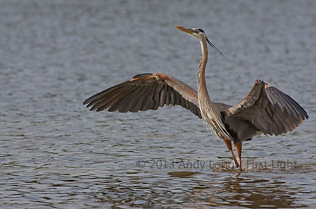 Blue Heron in water with wing spread showing and automated watermark by Andy Long.