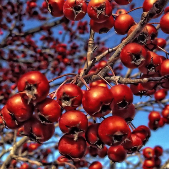 Close-up of details of red berries on a tree taken with a smartphone by Allen Moore.