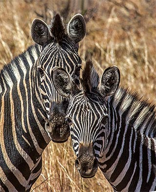 Close-up portrait of a pair of Zebras in Pilanesberg National Park in South Africa by Noella Ballenger.
