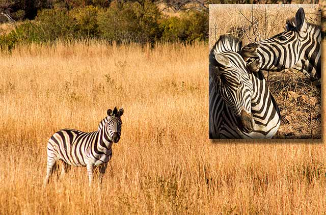 Photo collage of zebras: one standing in golden grasses and two zebras fighting in Pilanesberg National Park in South Africa by Noella Ballenger.