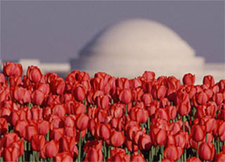Image of red tulips with the Jeffeerson Memorial in Washington D.C. in the background by Steve Gottlieb.