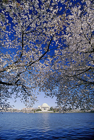 Image of the Jefferson Memorial in Washington D.C. as seen across the river and shrouded by a cherry blossom tree by Steve Gottlieb.