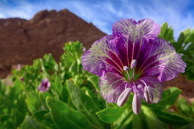 Close-up of a purple flower within its environment in Sinai, Egypt by Omar Attum.