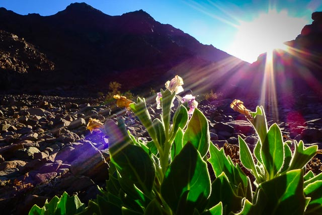 Sunlight with lens flare shining over mountains onto flora in Sinai, Egypt by Omar Attum.