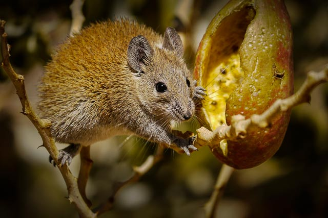 Image of a Spiny Mouse perched on a branch eating from a seed pod in Sinai, Egypt by Omar Attum.