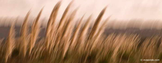 Image of golden plants waving in the wind showing flowing rhythm composition by Eva Polak.