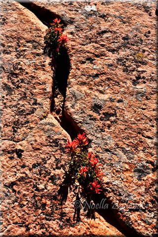 Photo of red Indian Paintbrush growing through cracks in the rocks at Zion National Park in Utah by Noella Ballenger.