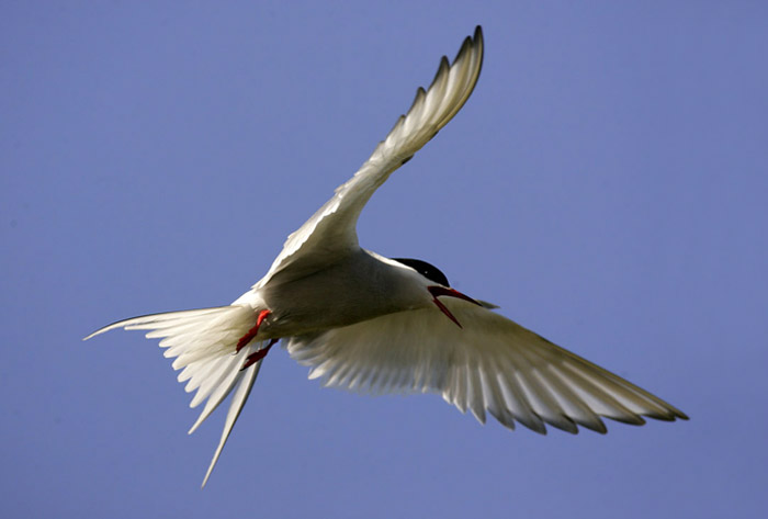 Photo of Arctic Tern in flight at Snæfellsnes Peninsula, Iceland by Andy Long