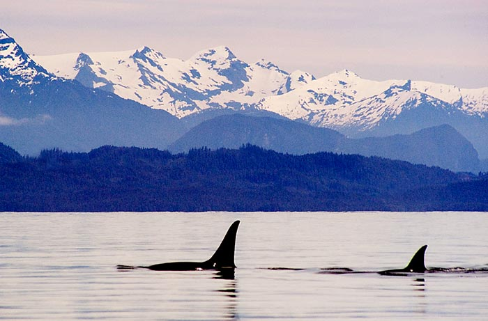 Photo of Orca whales off Vancouver Island, Canada by Robert Hitchman