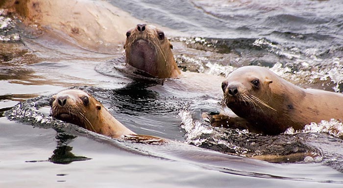 Photo of Sealions off Vancouver Island, Canada by Robert Hitchman
