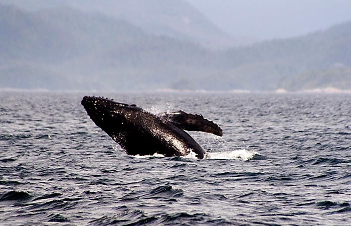 Photo of Humpback whales off Vancouver Island, Canada by Robert Hitchman