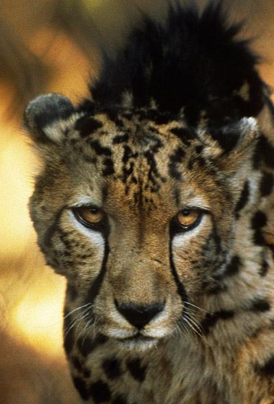 Close-up image of a Cheetah at De Wildt Cheetah Reserve near Pretoria, South Africa by Noella Ballenger.