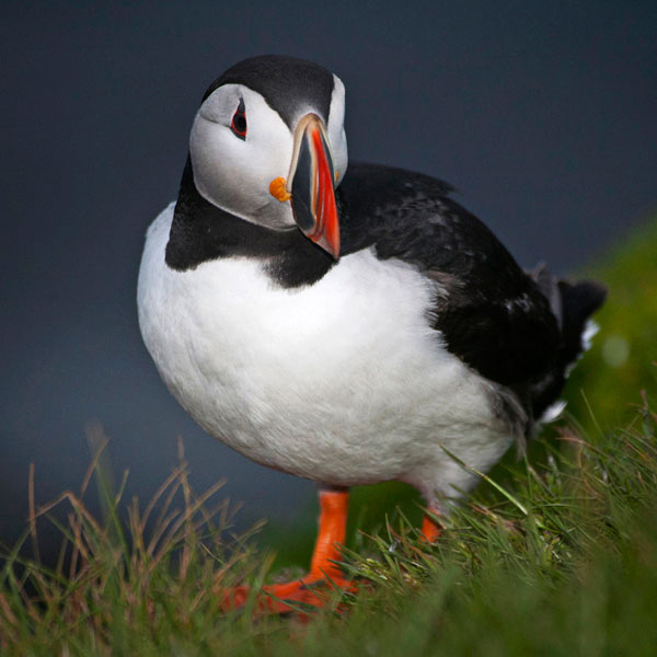Close-up image of an Icelandic Puffin in the grass by Noella Ballenger.