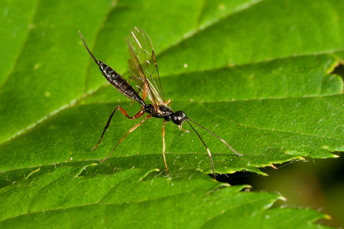 Photo of parasitic wasp using flash techniques by Edwin Brosens