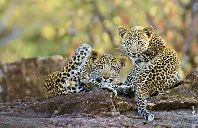 Photo of Leopard Cubs Playing – Letaba River, Kruger National Park by Mario Fazekas.