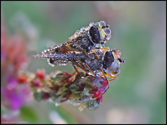 Macro photo of frozen dew drops on two common European species of Hoverfly by Neomi Zehavi Goldshtein.