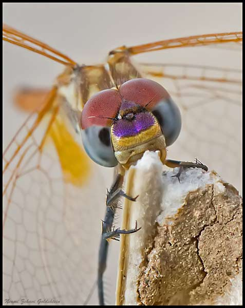 Macro photo of a colorful dragonfly eating from a plant by Neomi Zehavi Goldshtein.