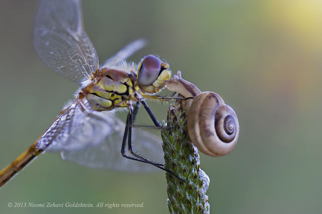 "Macro photo of a dragonfly and snail ""kissing"" while on top of a plant stem by Neomi Zehavi Goldshtein."