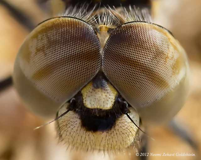Close / enlarged look at a macro photo of the face and eyes of a brown, beige and gold dragonfly by Neomi Zehavi Goldshtein.