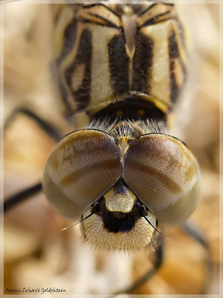 Macro photo of the face and eyes of a brown, beige and gold dragonfly by Neomi Zehavi Goldshtein.