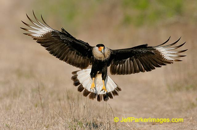 South Texas Wildlife: Caracara bird with wings spread as it flies in to land by Jeff Parker.