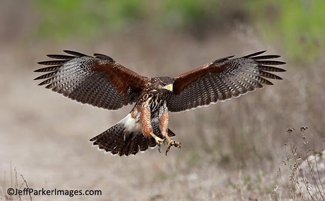 South Texas Wildlife: Harris's Hawk with wings spread and talons open in ready to capture its prey by Jeff Parker.