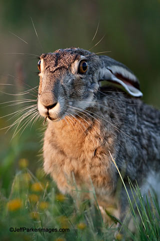 South Texas Wildlife: Portrait of a Jackrabbit in early morning light by Jeff Parker.