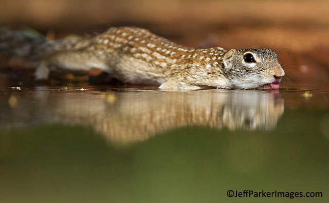 South Texas Wildlife: Reflection photo of Mexican Ground Squirrel drinking water at edge of pond by Jeff Parker.