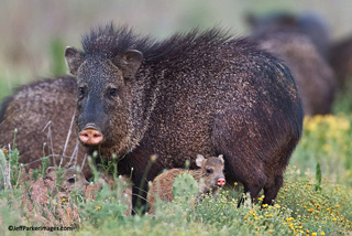 South Texas Wildlife: Javelina mother and babies in field of flowers by Jeff Parker.