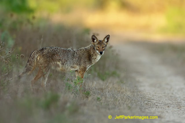 South Texas Wildlife: Coyote standing on the edge of a path in the Brush Country by Jeff Parker.