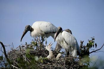 Photo of Wood Stork on nest