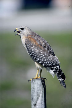 Photo of Red-shouldered Hawk