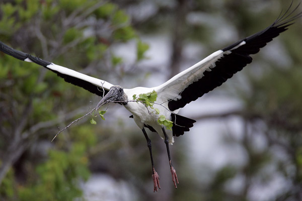 Photo of Wood Stork in flight