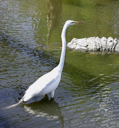 Photo of Great Egret & alligator