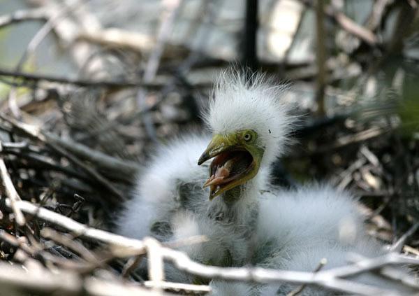 Photo of baby egret