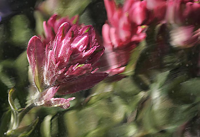Close-up photo of Indian Paintbrush by Andy Long