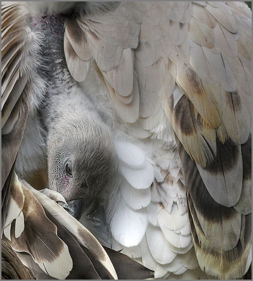 HDR photo of Cape Griffin Vulture preening by Jim Austin.