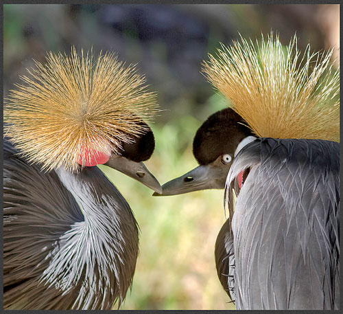 HDR photo of two East African Crowned Cranes by Jim Austin.