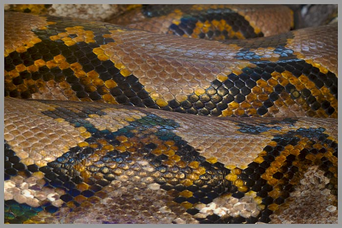 Close-up HDR photo of coiled Reticulated Python by Jim Austin.