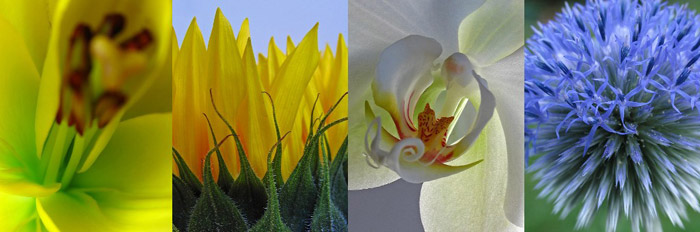 Close-up photos of Lily, Sunflower, Orchid and Globe Thistle by Juergen Roth.