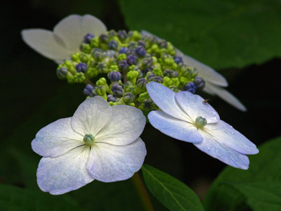 Close-up photo of Hydrangeas flowers by Juergen Roth