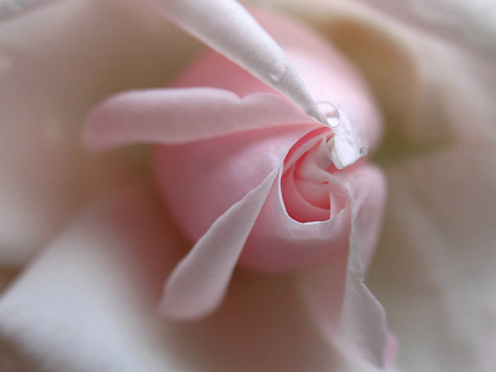 Close-up photo of pink rose by Juergen Roth.