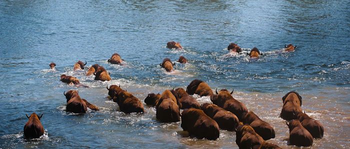 Photo of American Bison swimming in Yellowstone National Park by Michael Leggero