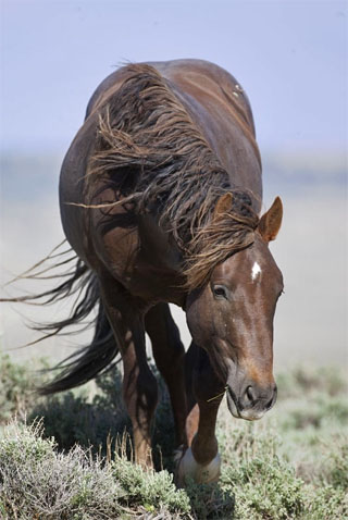Action photography: brown wild horse portrait at Sand Wash Basin in northwestern Colorado by Andy Long.