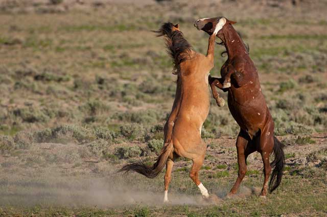 Action photography: two wild horse stallions rearing up in a fight by Andy Long.