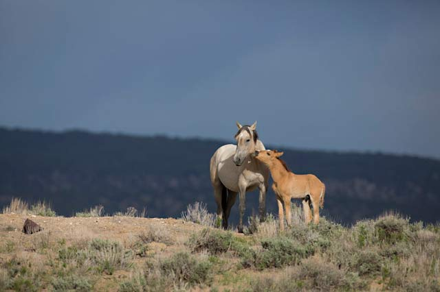 Action photography: wild horse mare and colt interaction at Sand Wash Basin in northwestern Colorado by Andy Long.