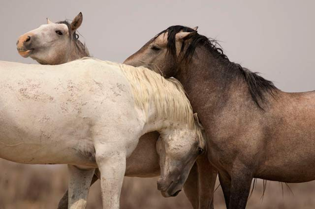Action photography: three wild horses nuzzling at Sand Wash Basin in northwesster Colorado by Andy Long.
