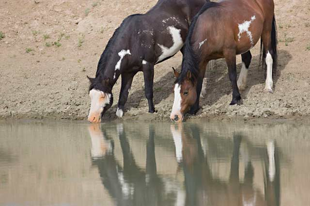 Action photography: reflection of wild horses drinking at the watering hole by Andy Long.